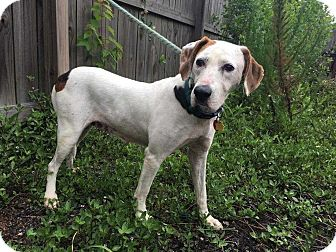 Foxhound Mix Dog for adoption in Charelston, South Carolina - Snow