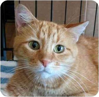 Domestic Shorthair Cat for adoption in Plainville, Massachusetts - Five-O