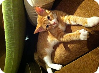 Domestic Shorthair Cat for adoption in Toronto, Ontario - Roo