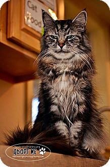 Maine Coon Cat for adoption in Columbia, Maryland - Bootsey
