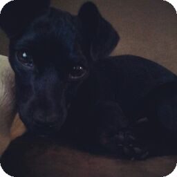 Terrier (Unknown Type, Small) Mix Puppy for adoption in Gainesville, Florida - Walker