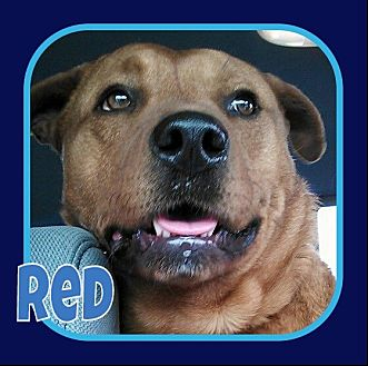 Labrador Retriever/American Pit Bull Terrier Mix Dog for adoption in Princeton, West Virginia - Red