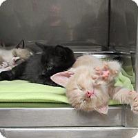 Adopt A Pet :: Topaz - Athens, GA