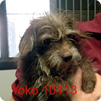 Adopt A Pet :: Yoko - Greencastle, NC