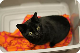 Domestic Shorthair Cat for adoption in Mebane, North Carolina - Pickles