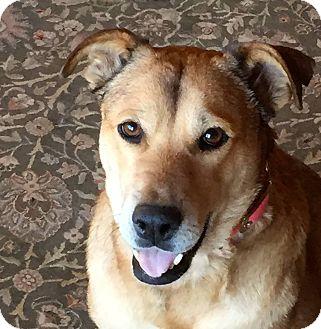 Labrador Retriever Mix Dog for adoption in Littleton, Colorado - ROSARIO (Boulder)