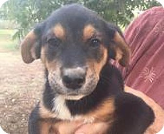 Rottweiler/German Shepherd Dog Mix Puppy for adoption in Patterson, New York - Helen
