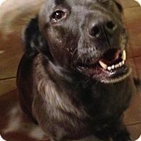 Labrador Retriever Mix Dog for adoption in Pewaukee, Wisconsin - Shesha