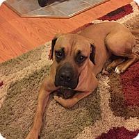 Adopt A Pet :: Bailey Boxer - Laingsburg, MI