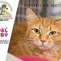 Domestic Shorthair Cat for adoption in Davenport, Iowa - Noel Baby
