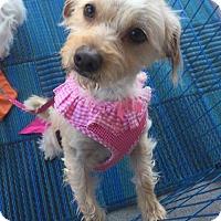 Adopt A Pet :: Honey - Mission viejo, CA