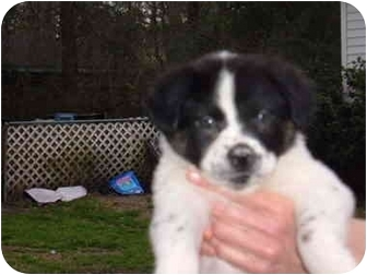 Border Collie/Boxer Mix Puppy for adoption in No.Charleston, South Carolina - Lots of PUPPIES