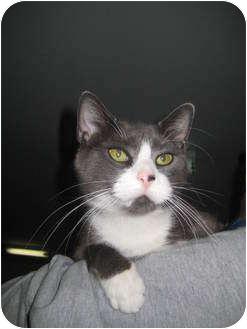 Domestic Shorthair Cat for adoption in Jenkintown, Pennsylvania - Foxy