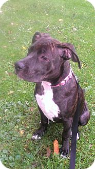 American Pit Bull Terrier Mix Dog for adoption in Roaring Spring, Pennsylvania - Maizzy