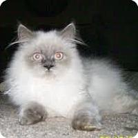 Adopt A Pet :: Himalayans!!!! - Westfield, MA