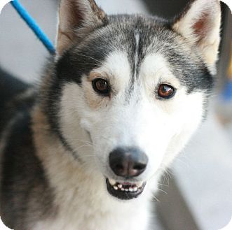 Siberian Husky Dog for adoption in Canoga Park, California - Lightning