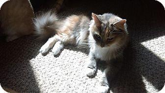 Calico Cat for adoption in Mt. Pleasant, Pennsylvania - Sophia
