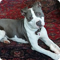 Adopt A Pet :: Marbles (In Foster Home) - Muskegon, MI