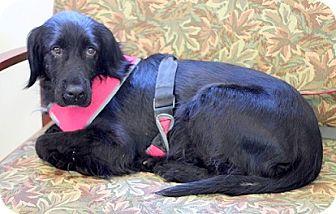 Labrador Retriever Mix Dog for adoption in Concord, North Carolina - Sweetie