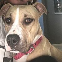 American Staffordshire Terrier Mix Dog for adoption in Houston, Texas - Khaleesi
