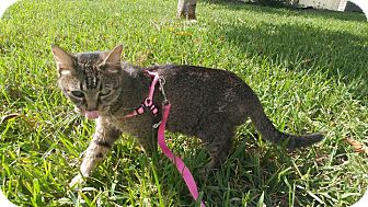 Domestic Mediumhair Cat for adoption in Davie, Florida - Amber
