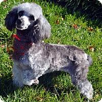 Adopt A Pet :: Dorothy-Adoption pending - Bridgeton, MO