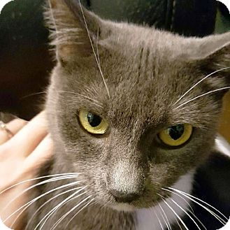 Domestic Shorthair Cat for adoption in Arlington/Ft Worth, Texas - Lacey