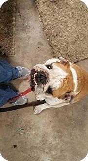 English Bulldog Mix Dog for adoption in Killeen, Texas - Farley