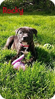 Pit Bull Terrier/Shepherd (Unknown Type) Mix Puppy for adoption in Wyoming, Michigan - Rocky