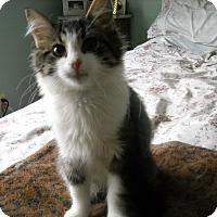 Adopt A Pet :: Nutmeg (Sweetie Pie) - Arlington, VA