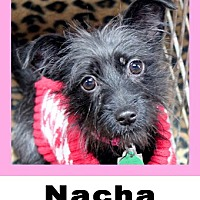 Adopt A Pet :: Nacha - Plano, TX