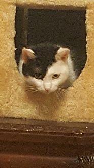Domestic Shorthair Cat for adoption in New york, New York - Pepper