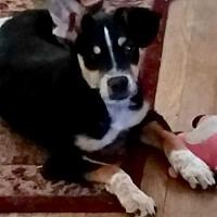 Australian Shepherd Mix Puppy for adoption in Fresno, California - Ray Ray