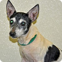 Adopt A Pet :: Amelia - Port Washington, NY
