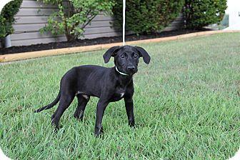 Labrador Retriever Mix Puppy for adoption in New Oxford, Pennsylvania - Tate