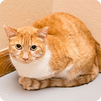 Domestic Shorthair Cat for adoption in Fountain Hills, Arizona - Jackie