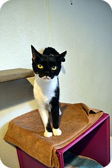 Domestic Shorthair Cat for adoption in Broadway, New Jersey - Lily