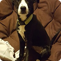 Adopt A Pet :: Phoebe - Cleveland, OH