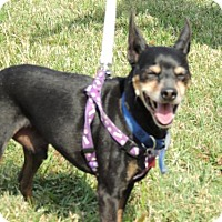 Miniature Pinscher Dog for adoption in Franklin, Tennessee - SHILOH-FOSTER NEEDED