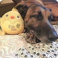 Adopt A Pet :: Bear - Chattanooga, TN
