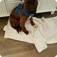 Adopt A Pet :: Bodhi - North Haledon, NJ