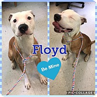 Adopt A Pet :: Floyd - Colonial Heights animal shelter, VA