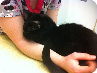 Domestic Shorthair Cat for adoption in Pocahontas, Arkansas - LoveBug