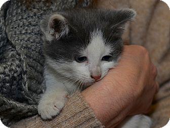 Domestic Shorthair Kitten for adoption in Brooklyn, New York - Timmy