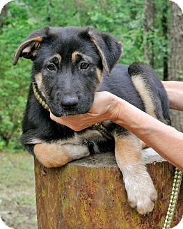 German Shepherd Dog Mix Puppy for adoption in Groton, Massachusetts - Dallas