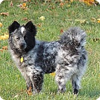 Adopt A Pet :: Morty - Blue Merle - South Amboy, NJ