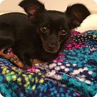 Adopt A Pet :: Petra - Edmond, OK