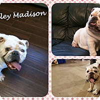 Adopt A Pet :: Dolley Madison - DOVER, OH