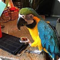 Adopt A Pet :: Coco - Redlands, CA