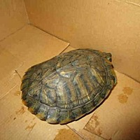 Turtle - Other for adoption in Burbank, California - A065864